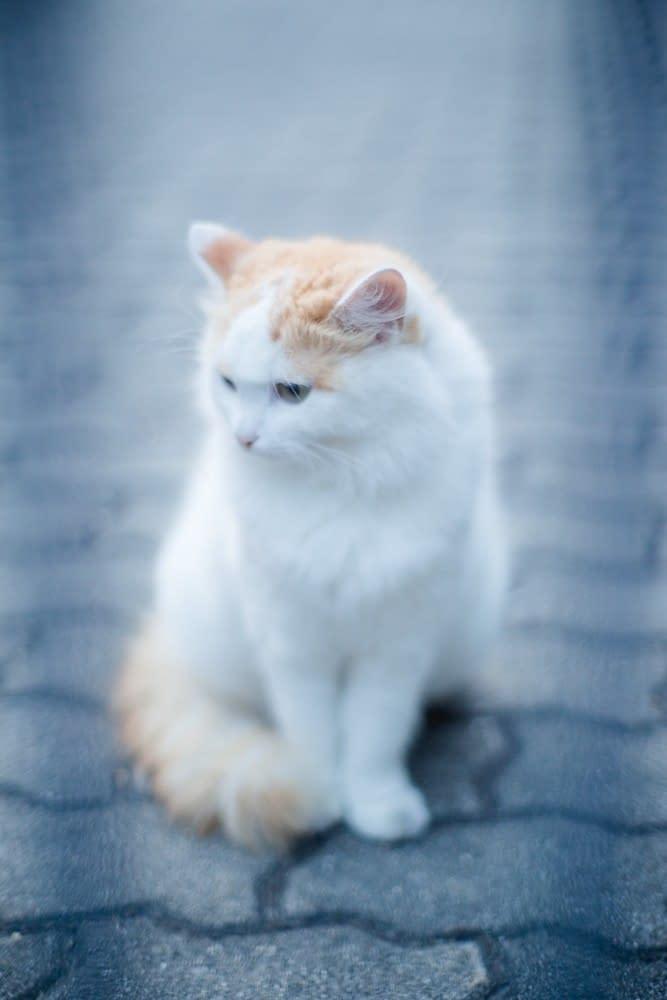 Katze - Testbild Zuiko AUTO-S 50mm f/1.2